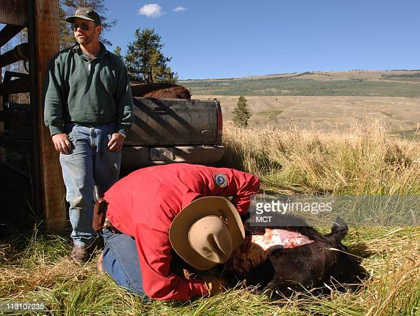 Rancher Albert Sommers left looks on as Wyoming Game and Fish Warden Herb Bubba Haley skins a calf that was attacked by a grizzly bear Haley has to...