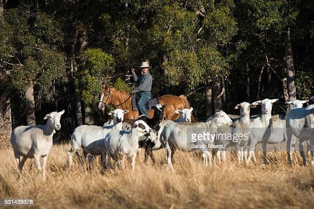 Rancher herding sheep