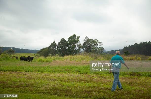 a rancher walks across a field as he calls his black cattle home - timothy hearsum fotografías e imágenes de stock