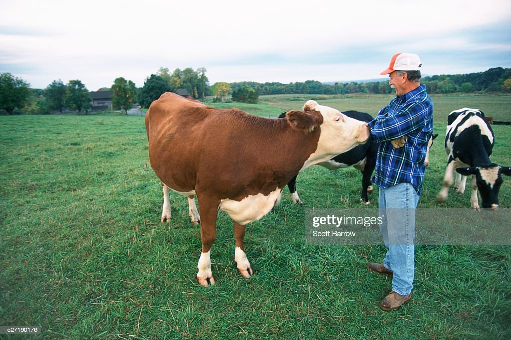 Rancher with his cows : Bildbanksbilder