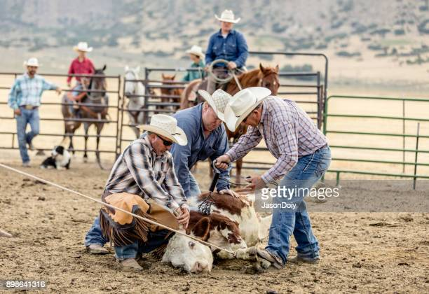ranchers branding cattle - livestock branding stock photos and pictures