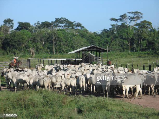 Ranchers herd cattle in a deforested patch of the Amazon rain forest outside of Belem Brazil June 21 2007 About 70 percent of deforested land in...