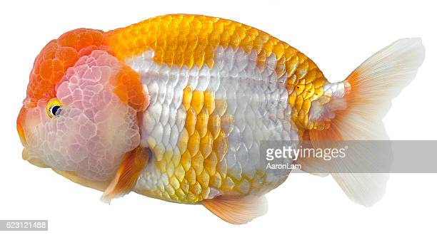 Ranchu Goldfish on white background