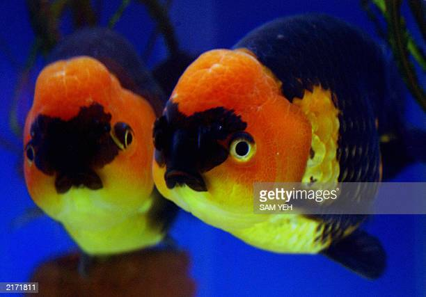 A Ranchu Goldfish the left being reflected on the glass swim in a tank during a fish show in Taipei 17 July 2003 Ranchu Goldfish are the most...