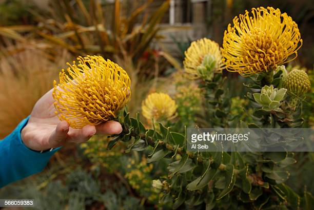 Randy Bergman holds one of many colorful flowers blooming in the front yard of her home in the Cheviot Hills neighborhood of Los Angeles Bergman's...