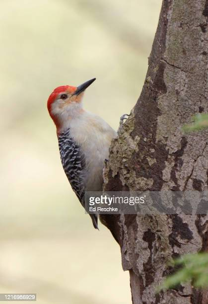 male red-bellied woodpecker (melanerpes carolinus), range expanding north and west - ed reschke photography stock pictures, royalty-free photos & images