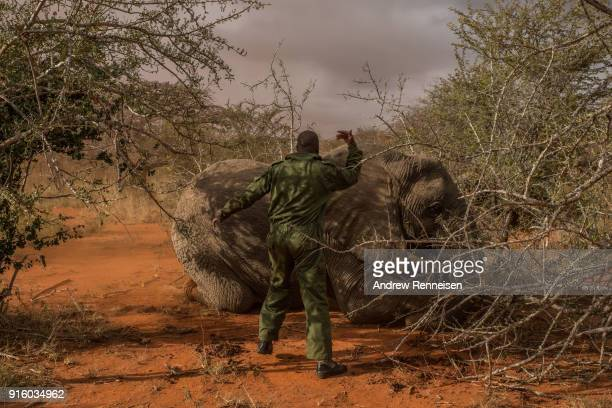 A ranger from the Kenya Wildlife Service calls for help after Salama a female African Savannah elephant needed to be pushed on her side after being...
