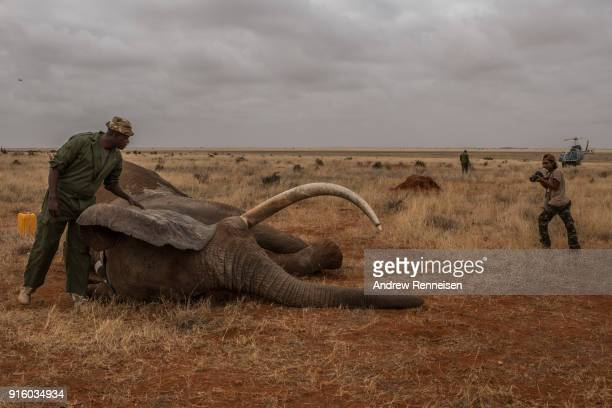 A ranger from the Kenya Wildlife Service looks over Wide Satao a male African Savannah Elephant during an elephant collaring operation on February 3...