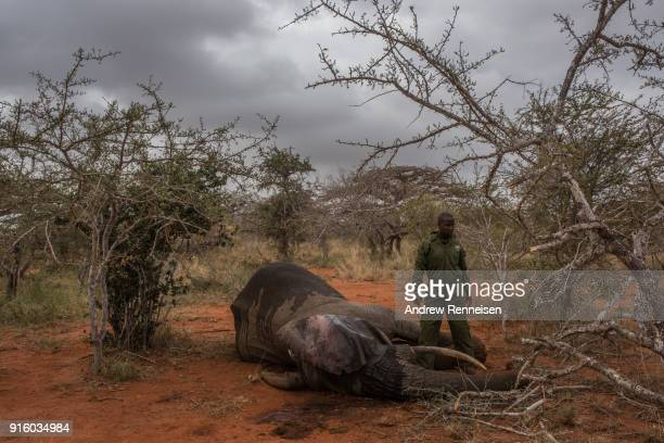 A ranger from the Kenya Wildlife Service waits after injecting an antiserum into the ear of Salama a female African Savannah elephant to wake her...