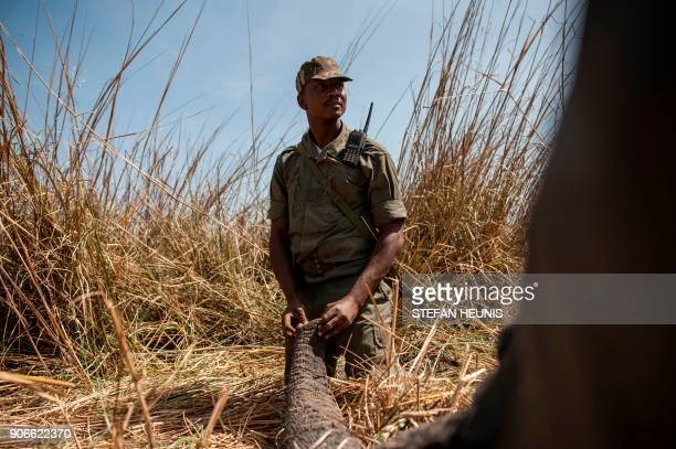 A ranger holds the trunk of a tranquillized elephant to prevent the blocking of the airway during a collaring exercise at Pendjari National Park near...