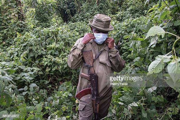 Ranger in the Virunga National Park puts a mask protecting against disease transmission on his approach of a group of mountain gorillas. A ranger...