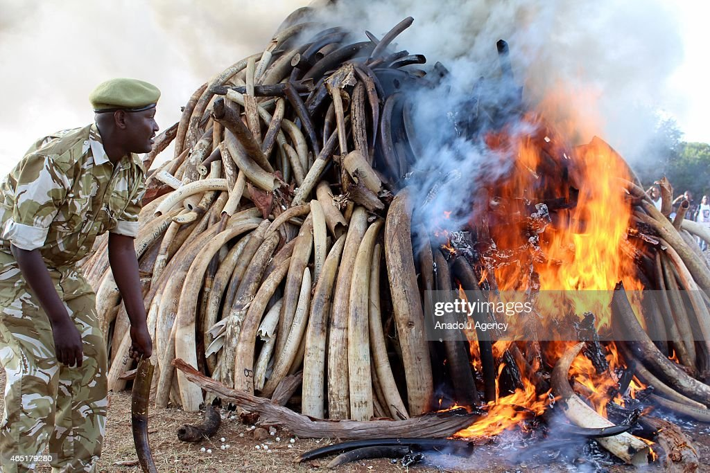 A ranger is seen near burning ivories in Nairobi, Kenya, on March 3, 2015. Between 20,000 and 25,000 elephants are killed in Africa annually and Kenyan President Uhuru Kenyatta on Tuesday set fire to 15 tons of elephant tusk in a symbolic measure meant to deter illegal poaching.