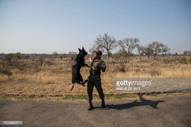 Ranger of the South African National Parks Service's K9 unit plays with his dog at the roadblock while they wait for cars to inspect at the Kruger...