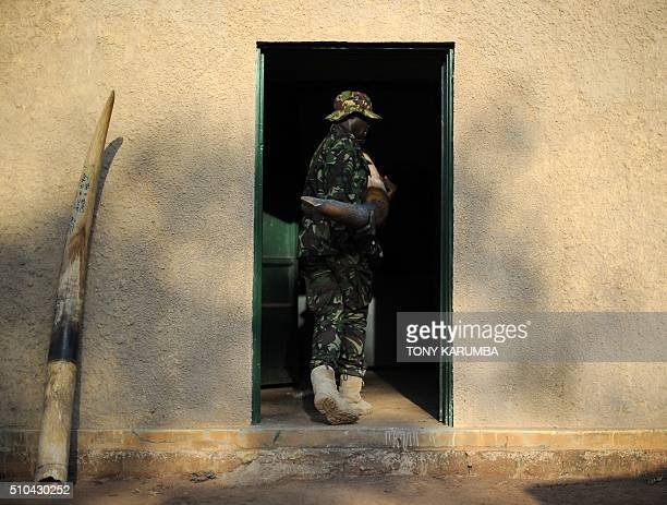A rangers carries elephant tusks confiscated from poachers back into a strongroom in the Garamba National Park in northeastern Democratic Republic of...