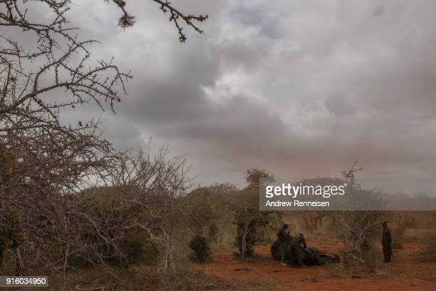 Rangers from the Kenya Wildlife Service inject an antiserum into the ear of Salama a female African Savannah elephant to wake her from sedation...