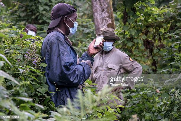 Rangers in the Virunga National Park put a mask protecting against disease transmission on their approach of a group of mountain gorillas A ranger...