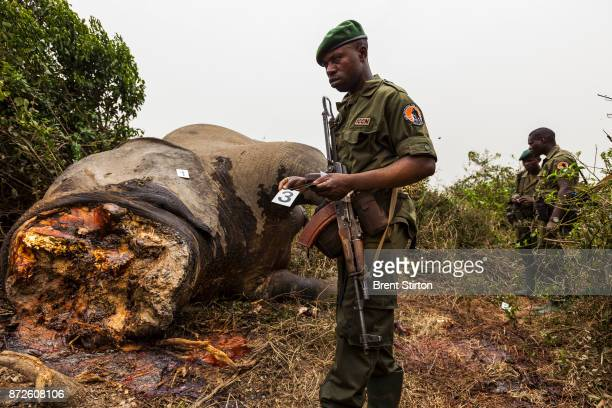 Rangers investigate the corpse of a recently killed subadult male elephant in Lulimbi Eastern DRC February 29 2012 The elephant has obviously been...