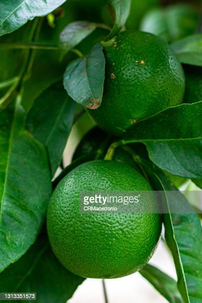 rangpur (fruit) - crmacedonio stock pictures, royalty-free photos & images