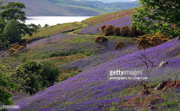 rannerdale bluebells - keswick stock pictures, royalty-free photos & images