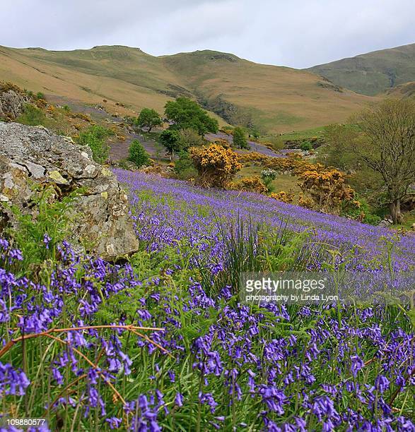 rannerdale valley bluebells - keswick stock pictures, royalty-free photos & images