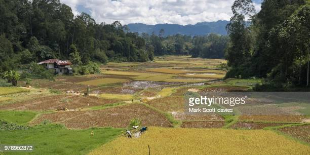 rantepao rice fields - rantepao stock photos and pictures
