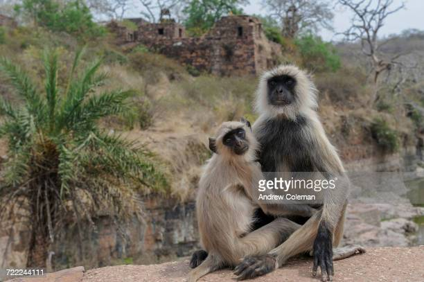 """Common langurs, Semnopithecus entellus, overlooking ruins at Ranthambhore Fort."""