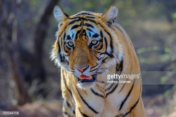 """close up of a tiger, panthera tigris, in indias ranthambhore national park."" - tigre del bengala foto e immagini stock"
