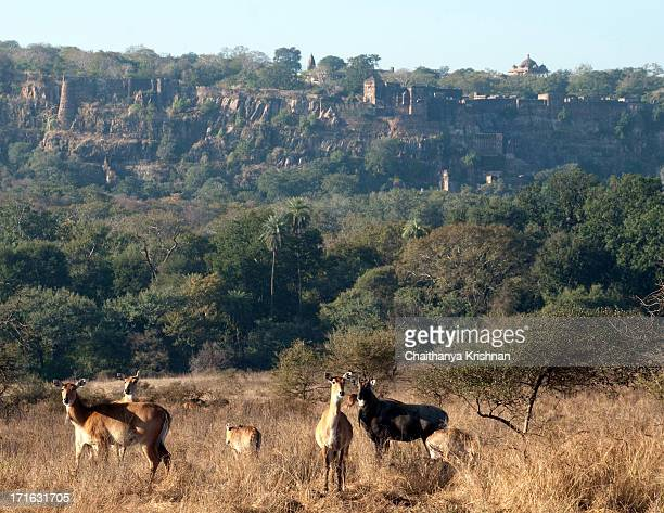 ranthambore fort - nilgai stock photos and pictures