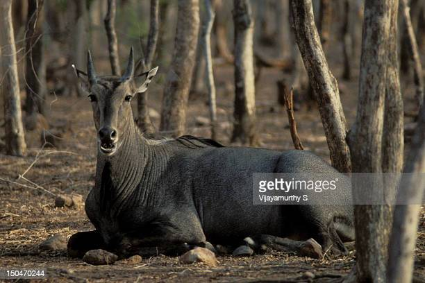 ranthambore national park - nilgai stock photos and pictures