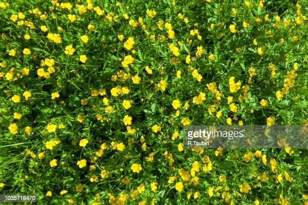 ranunculus acris (meadow buttercup, tall buttercup) with her yellow flowers - buttercup stock pictures, royalty-free photos & images