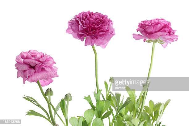 Ranunkel-Blumen