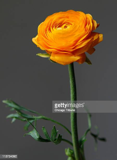 A ranunculus from a spring bouquet featuring tulips daffodils and hyacinths April 14 at A New Leaf in Chicago Illinois