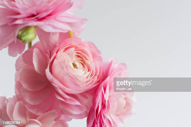 ranunculus on white background - pink flowers stock pictures, royalty-free photos & images