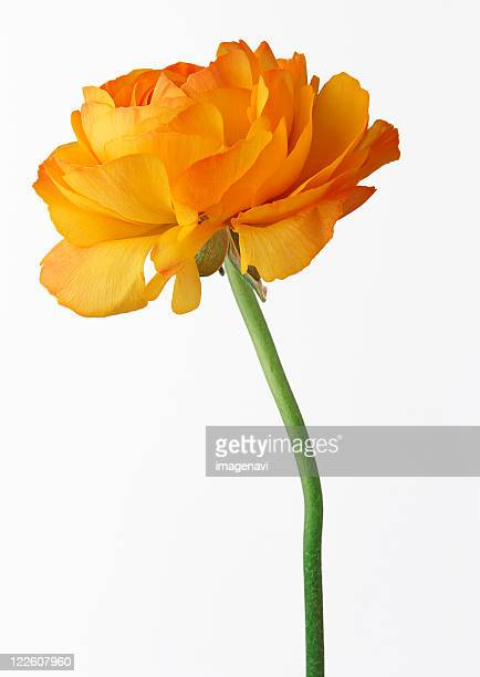 ranunculus - buttercup stock pictures, royalty-free photos & images