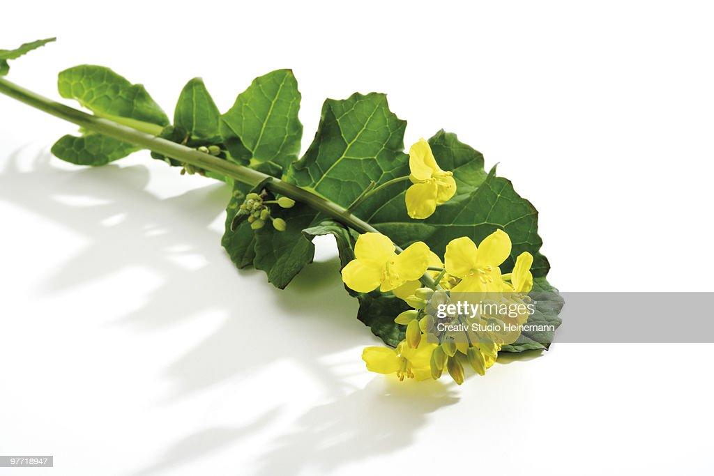 Rape bloom, (Brassica napus), close-up : ストックフォト