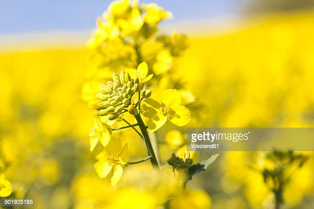rape blossom, brassica napus - oilseed rape stock pictures, royalty-free photos & images