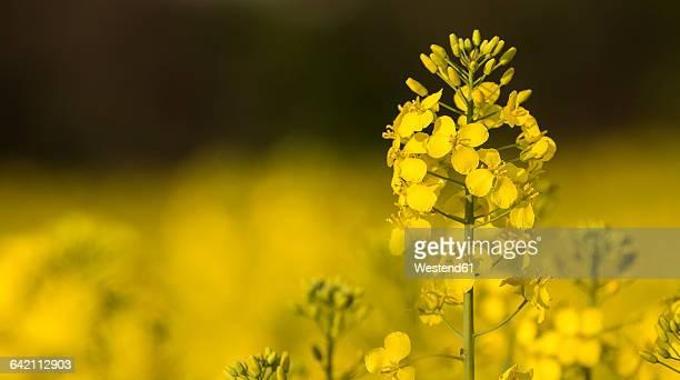 Rape blossom, Brassica napus