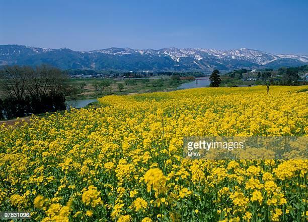Rape Blossoms, Iiyama, Nagano, Japan