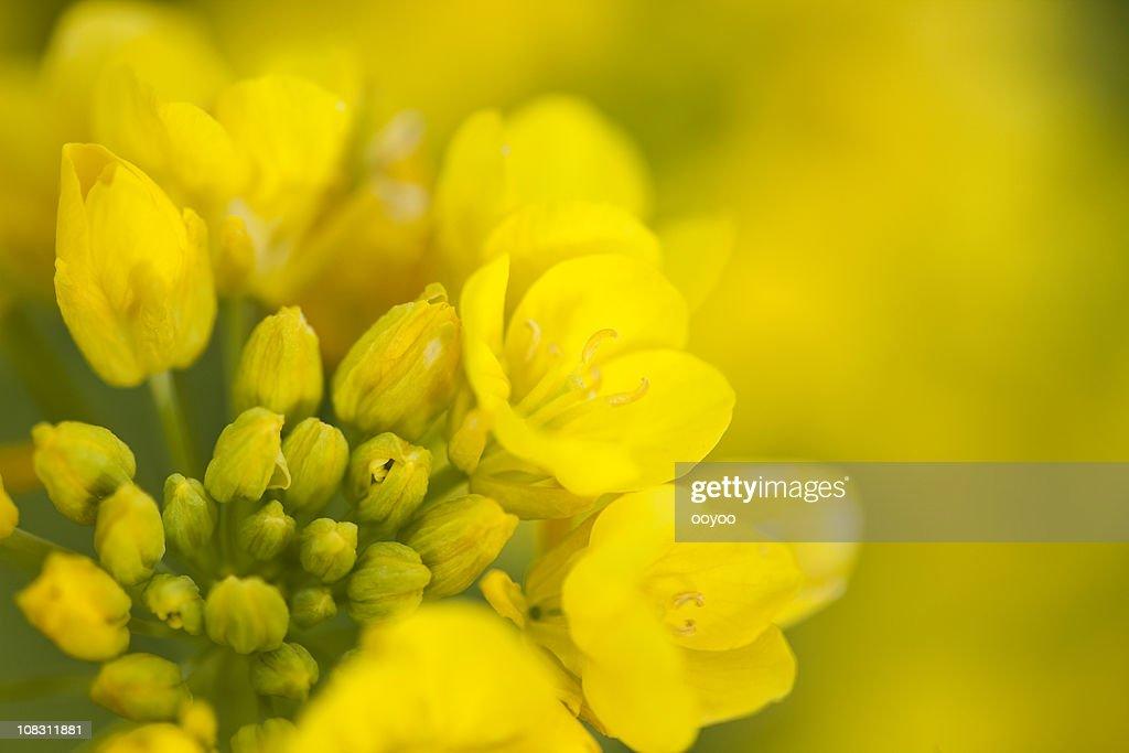 菜種の花 : ストックフォト