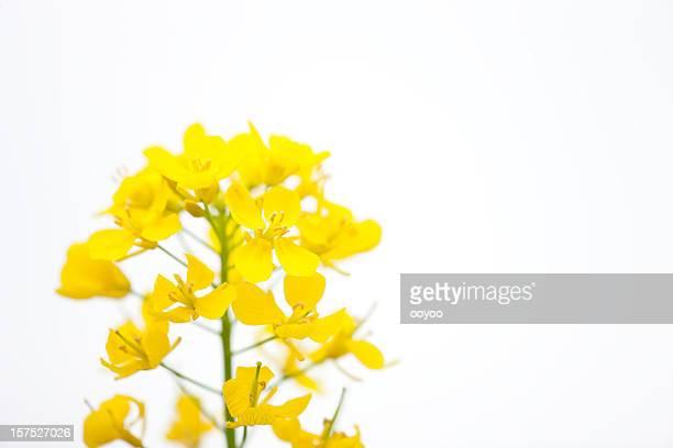 菜種の花 - キャノーラ ストックフォトと画像