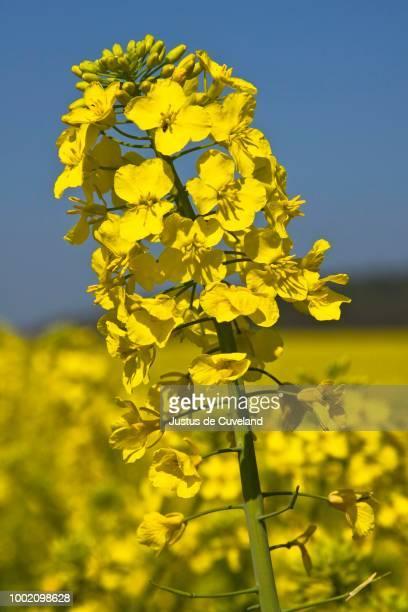Rape, Canola (Brassica napus) in bloom, Schleswig-Holstein, Germany