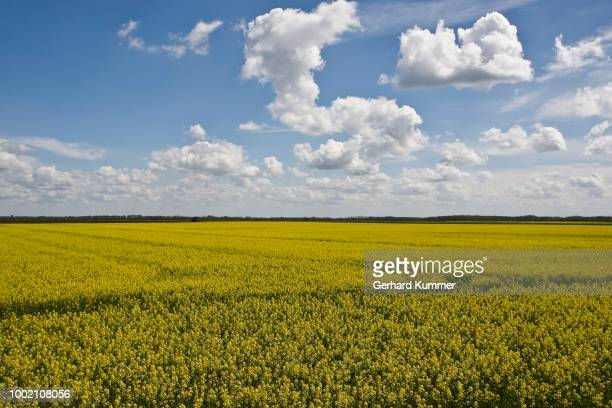 Rape field, canola field, (Brassica napus), with composition of clouds