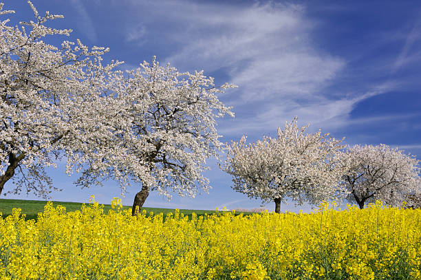Rape Field In Front Of Cherry Trees In  Blossom Wall Art