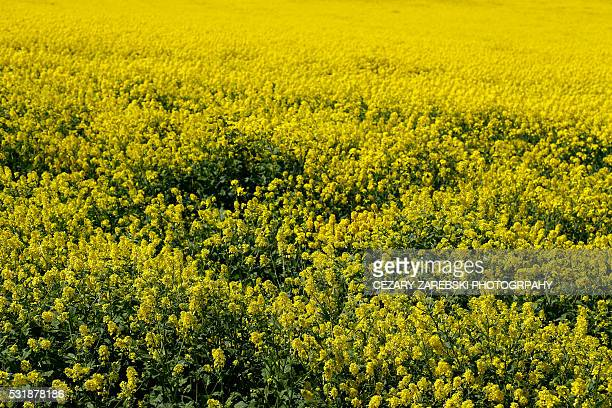 rape field in spring - kildare stock photos and pictures