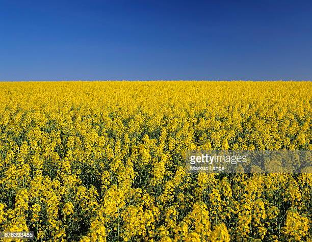 Rape field in spring, Tubingen, Baden Wurttemberg, Germany, Europe