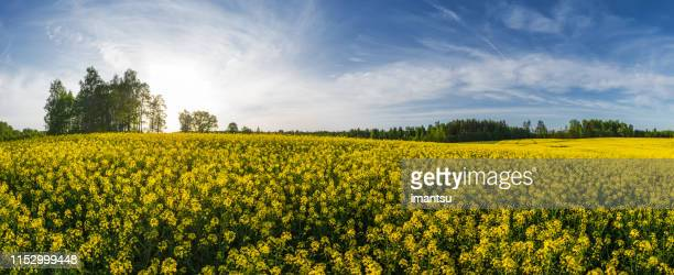 rape field on a spring evening - brassica rapa stock photos and pictures