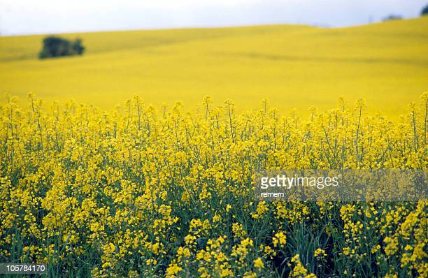 rape field - canola oil stock pictures, royalty-free photos & images