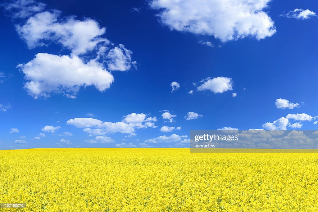 Rape field : Stock Photo