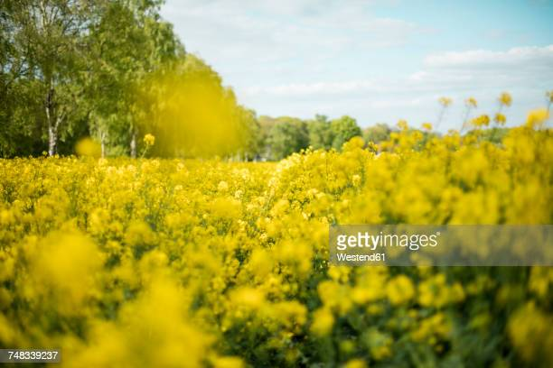 rape field - oilseed rape stock pictures, royalty-free photos & images