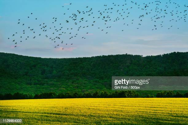 Rape Field With Birds